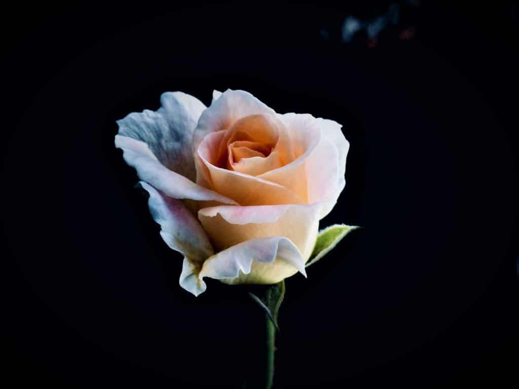 Une rose pastel